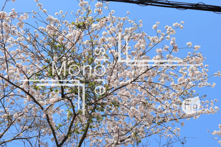 桜の写真 Cherry blossoms Photography 5467