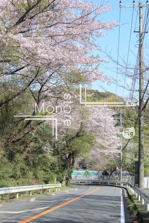 桜の写真 Cherry blossoms Photography 5470