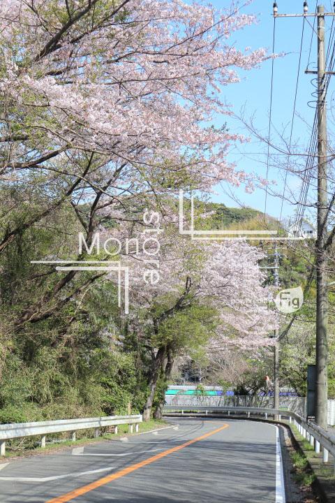 桜の写真 Cherry blossoms Photography 5472