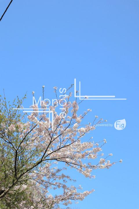 桜の写真 Cherry blossoms Photography 5484