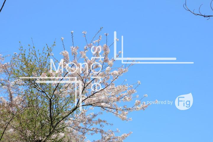 桜の写真 Cherry blossoms Photography 5486