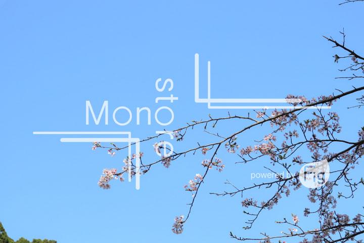 桜の写真 Cherry blossoms Photography 5488