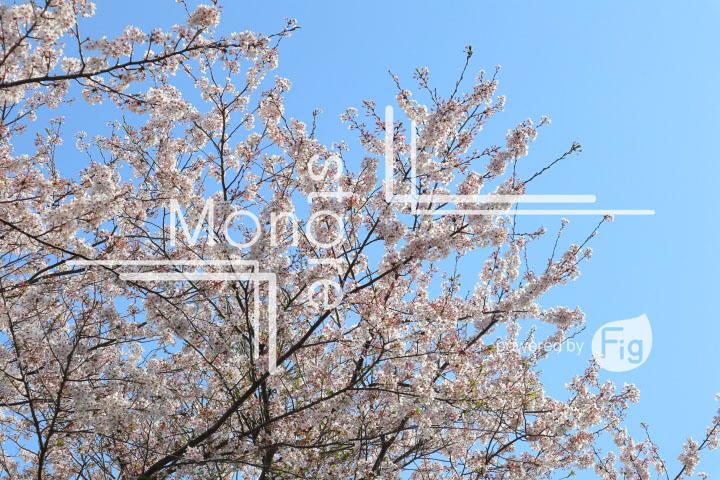 桜の写真 Cherry blossoms Photography 5492