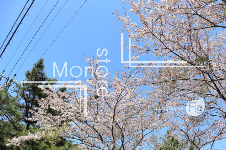桜の写真 Cherry blossoms Photography 5493
