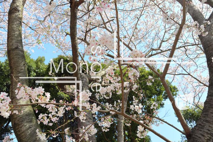 桜の写真 Cherry blossoms Photography 5494