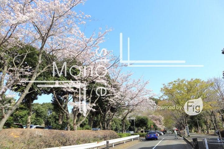 桜の写真 Cherry blossoms Photography 5495