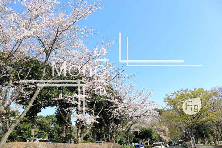 桜の写真 Cherry blossoms Photography 5496