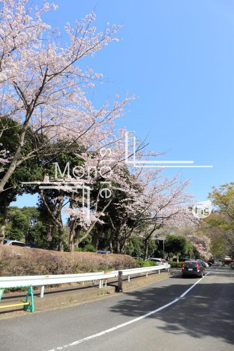 桜の写真 Cherry blossoms Photography 5497
