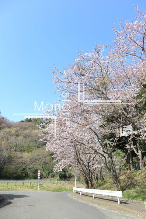 桜の写真 Cherry blossoms Photography 5498