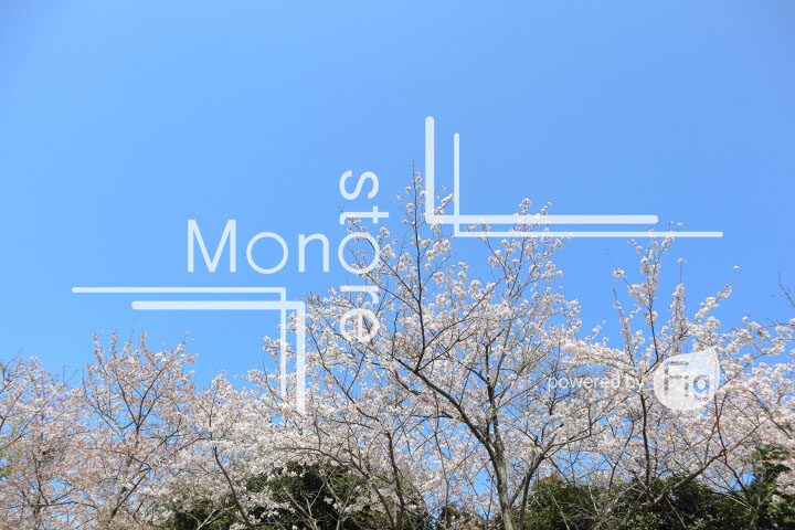 桜の写真 Cherry blossoms Photography 5500