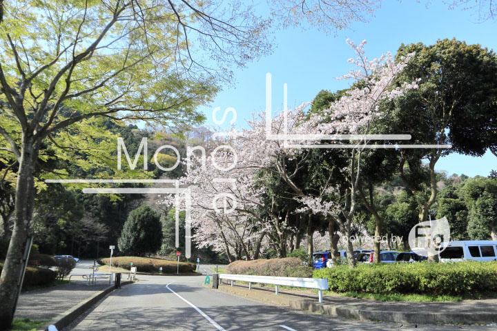 桜の写真 Cherry blossoms Photography 5505