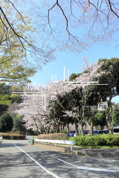 桜の写真 Cherry blossoms Photography 5506