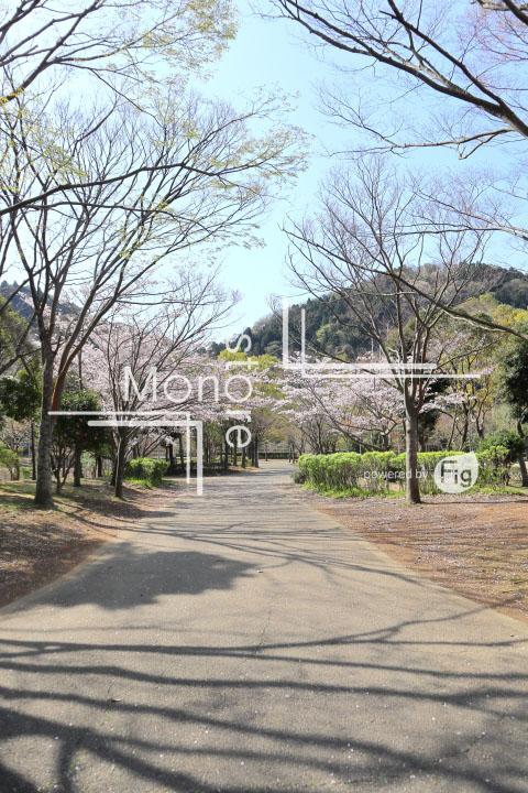 桜の写真 Cherry blossoms Photography 5518
