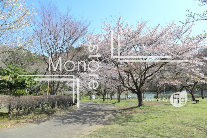 桜の写真 Cherry blossoms Photography 5525