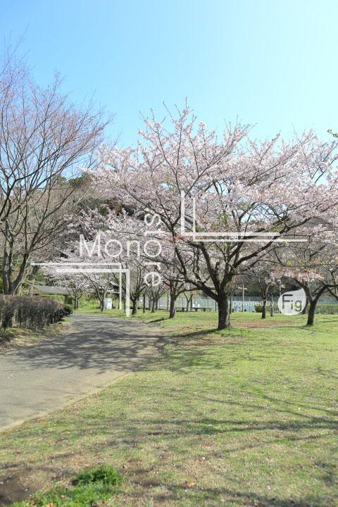 桜の写真 Cherry blossoms Photography 5527