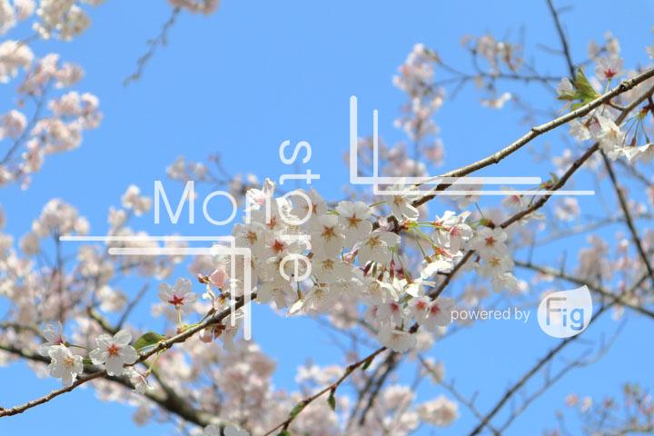 桜の写真 Cherry blossoms Photography 5529