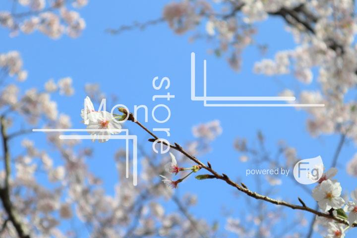 桜の写真 Cherry blossoms Photography 5533