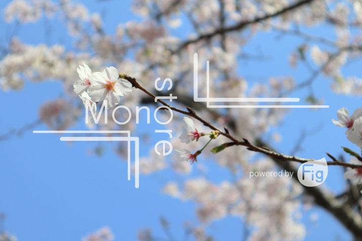 桜の写真 Cherry blossoms Photography 5535