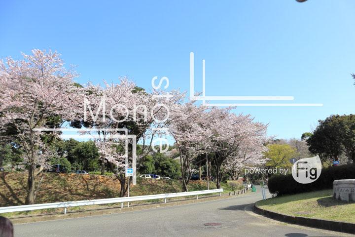 桜の写真 Cherry blossoms Photography 5539