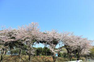 桜の写真 Cherry blossoms Photography 5541