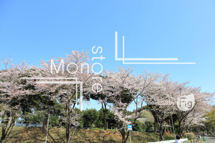 桜の写真 Cherry blossoms Photography 5541